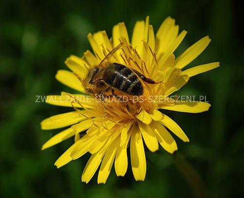 Zwalczanie pszczół Warszawa